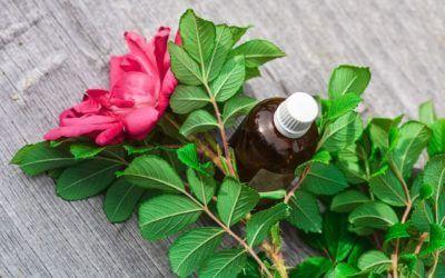 Tout savoir sur l'huile essentielle de rose musquée